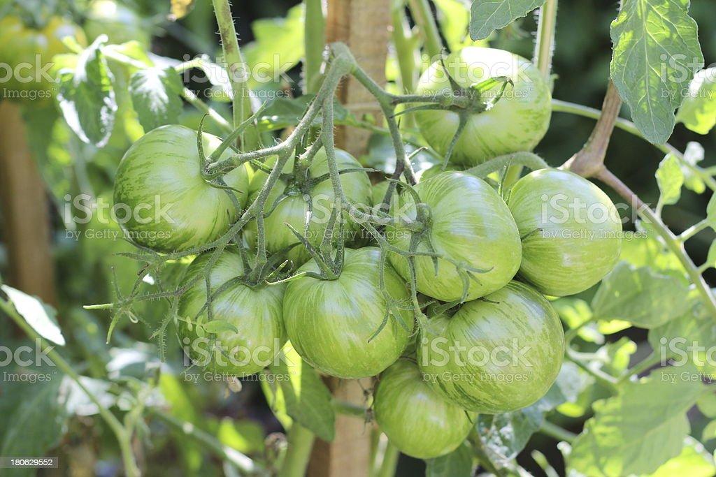 tomates vert l?gumes jardin potager royalty-free stock photo