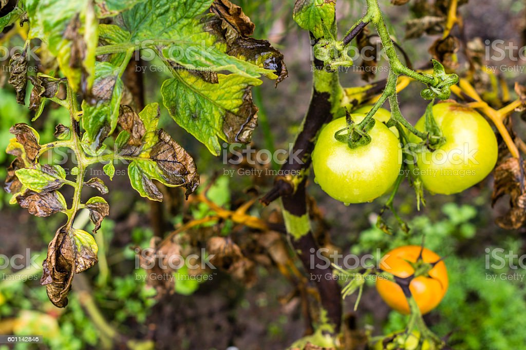 Tomato bush leaves and fruits infected by plant plague stock photo