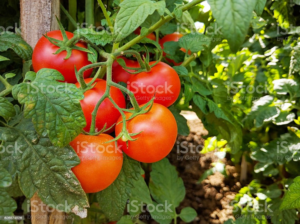 Tomato cluster and crops with stake stock photo