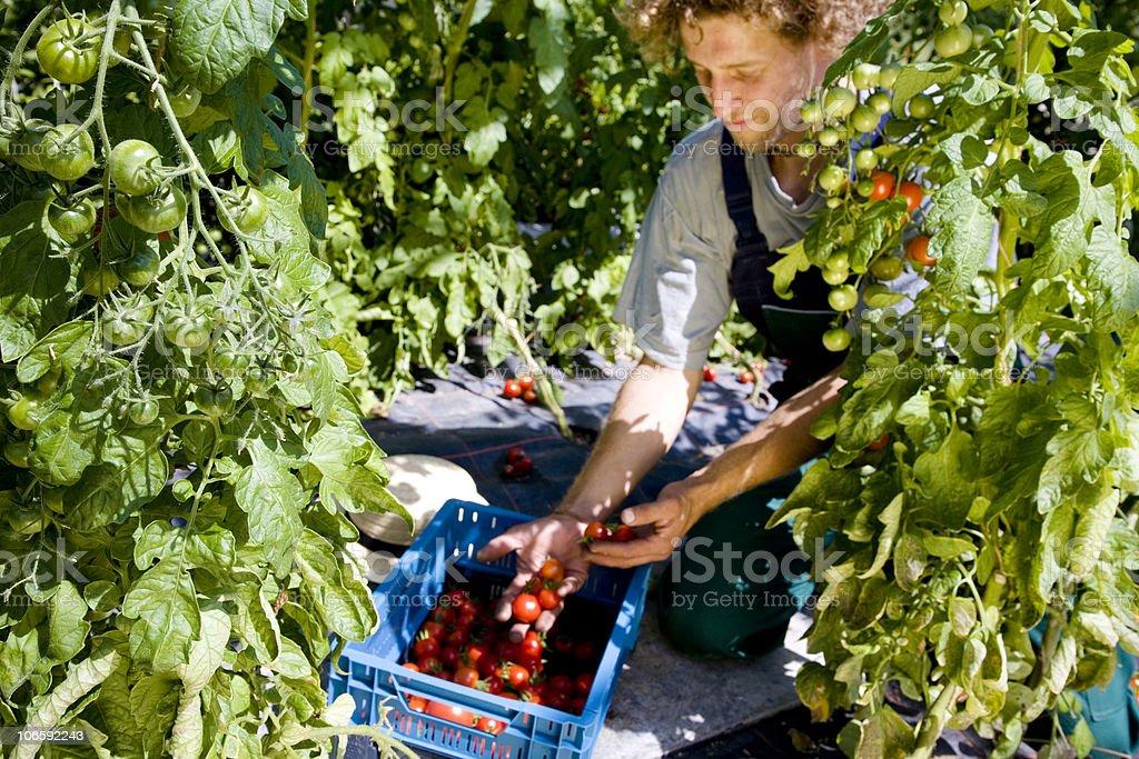 tomato crop royalty-free stock photo