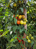 Tomato crops with stake