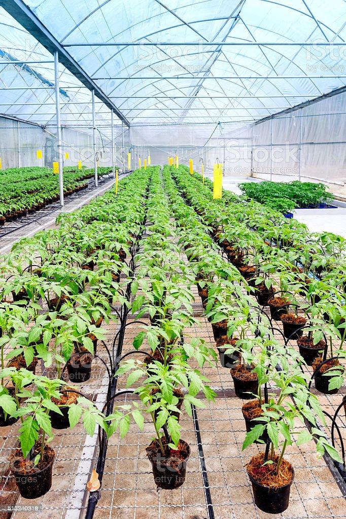 Tomato cultivation stock photo