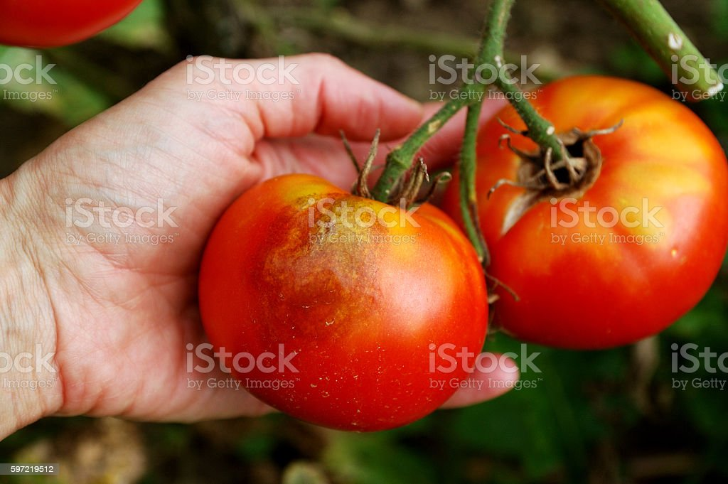 tomato disease: late blight of tomato stock photo