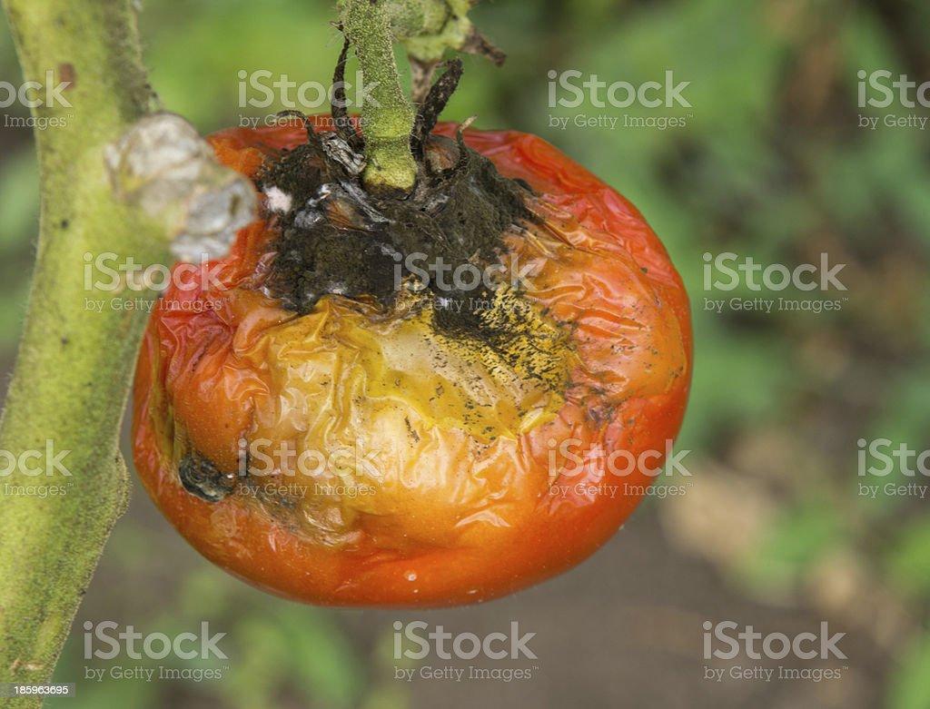 Tomato disease royalty-free stock photo