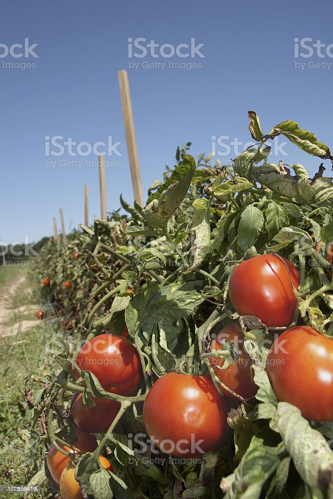 Tomato farm stock photo