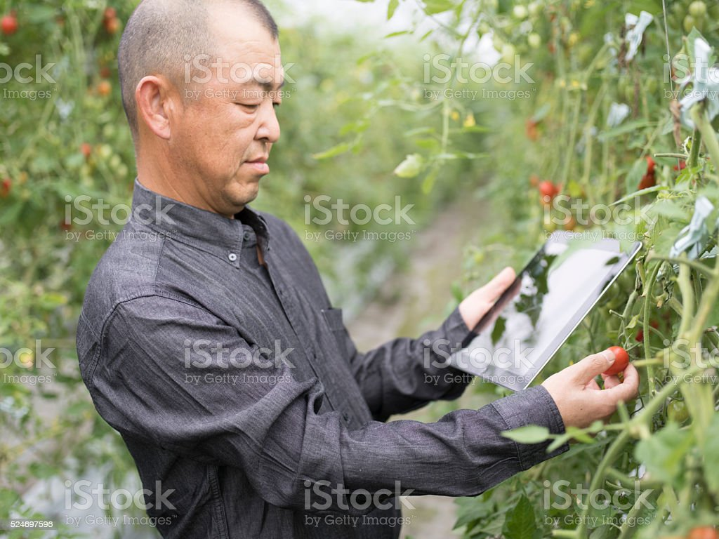 Tomato farmer using digital tablet computer stock photo