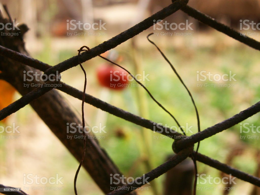 Tomato fence royalty-free stock photo
