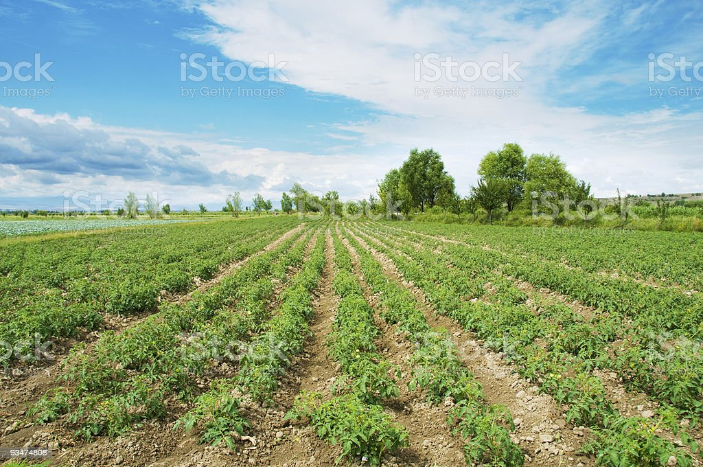 Tomato field on bright summer day stock photo