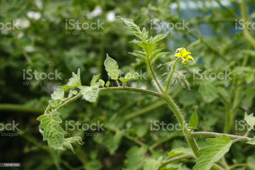 Tomato flower on the vine growing in a vegetable garden stock photo