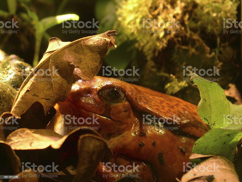 Tomato Frog royalty-free stock photo