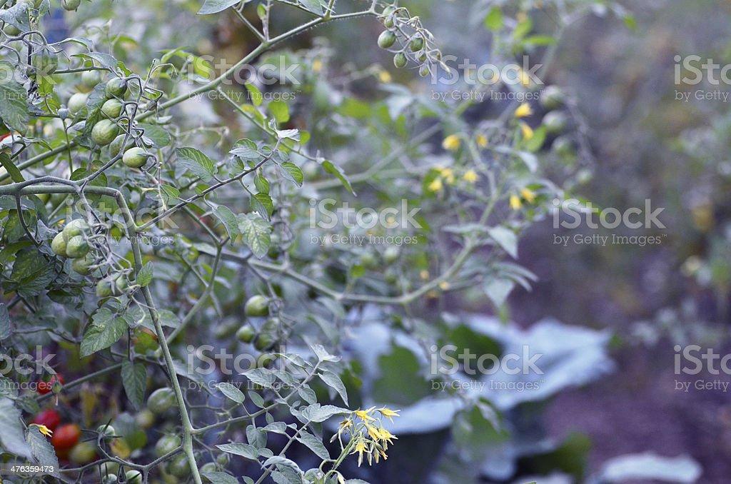 Tomato Garden royalty-free stock photo