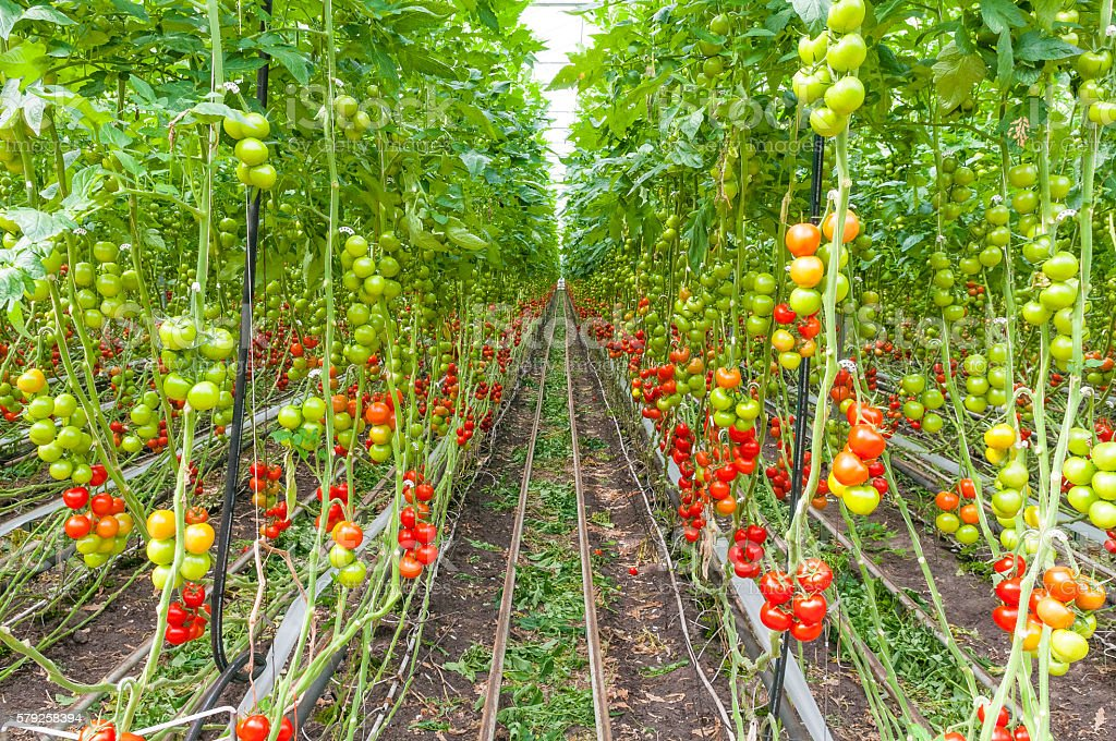 Tomato growing in a greenhouse stock photo