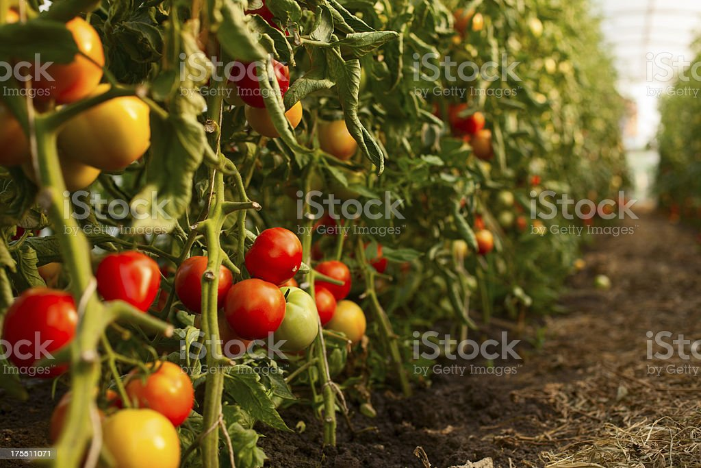 Tomato growing in greenhouse stock photo