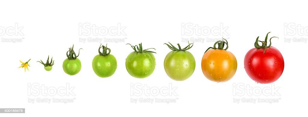 tomato growth evolution progress set isolated on white background stock photo