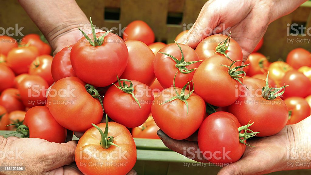Tomato Harvest stock photo