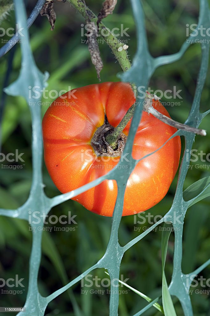 tomato on the vine royalty-free stock photo