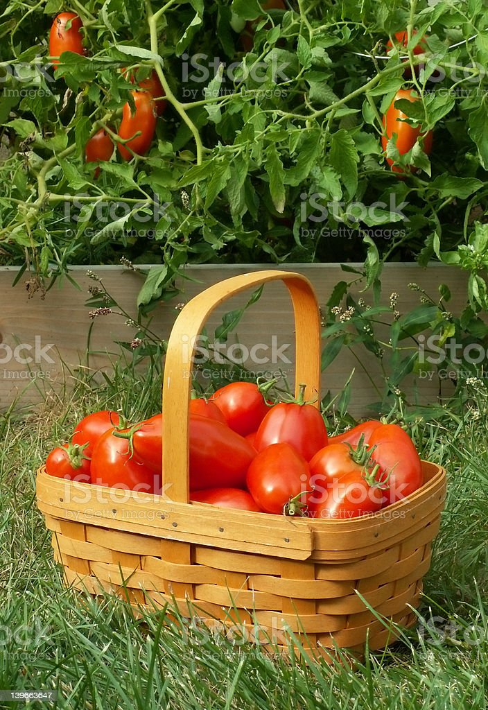 tomato picking royalty-free stock photo