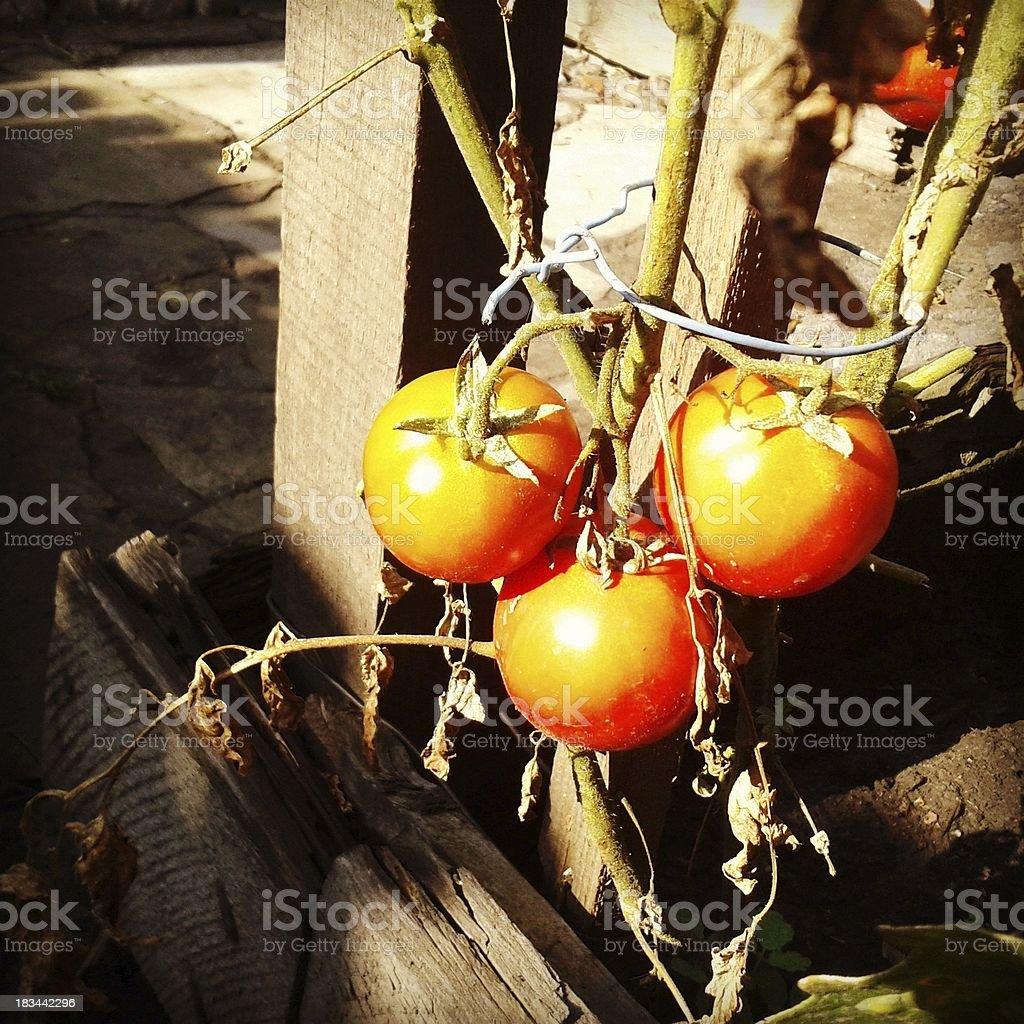 Tomato. royalty-free stock photo