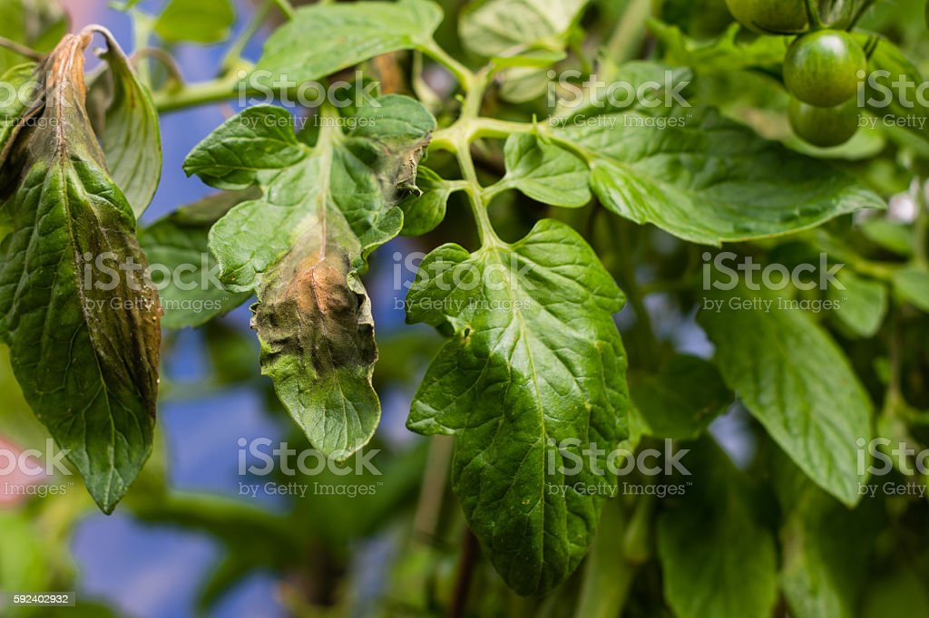 Tomato plague  or phytophtorosis on the plant leaves stock photo
