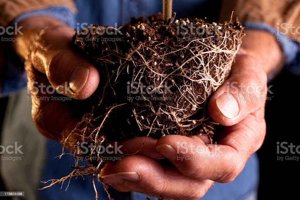 Tomato plant and root ball held by man royalty-free stock photo