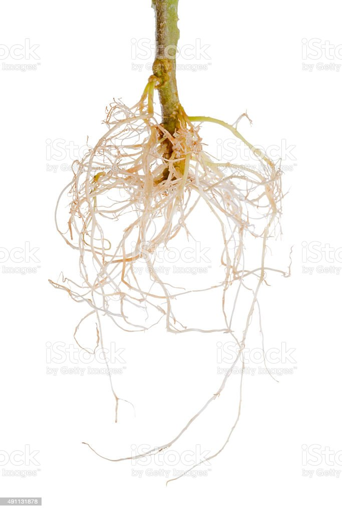 tomato plant exposed roots is isolated on white background stock photo
