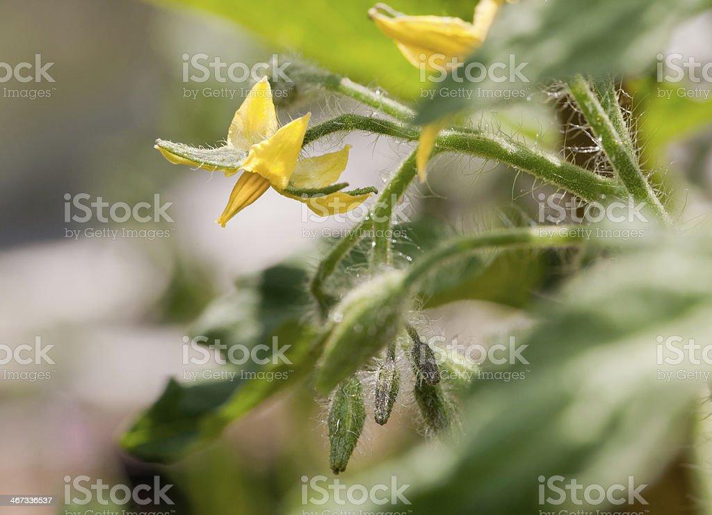 Tomato plant flower close-up royalty-free stock photo