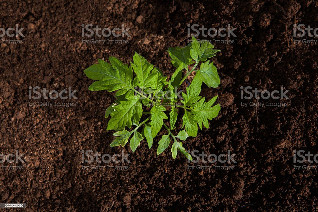 tomato plant growing out of soil stock photo