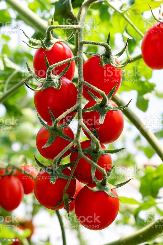 tomato plant in greenhouse stock photo