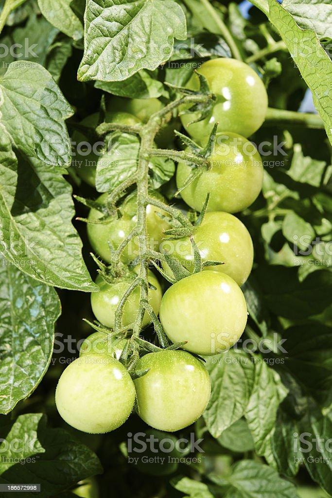 Tomato Plant royalty-free stock photo