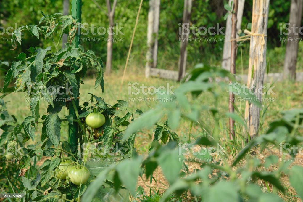 Tomato plant with unripe fruits tied up a stake. stock photo