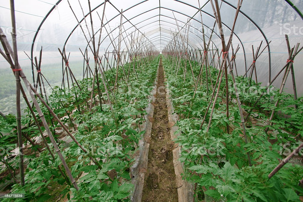 Tomato plantation in Greenhouse royalty-free stock photo