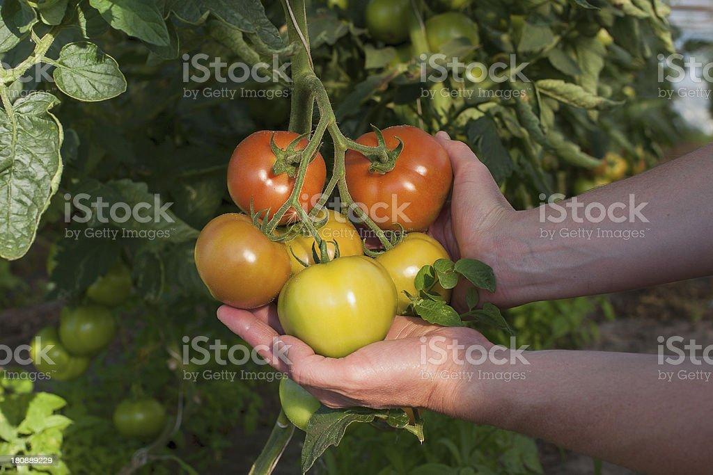 Tomato plantation royalty-free stock photo