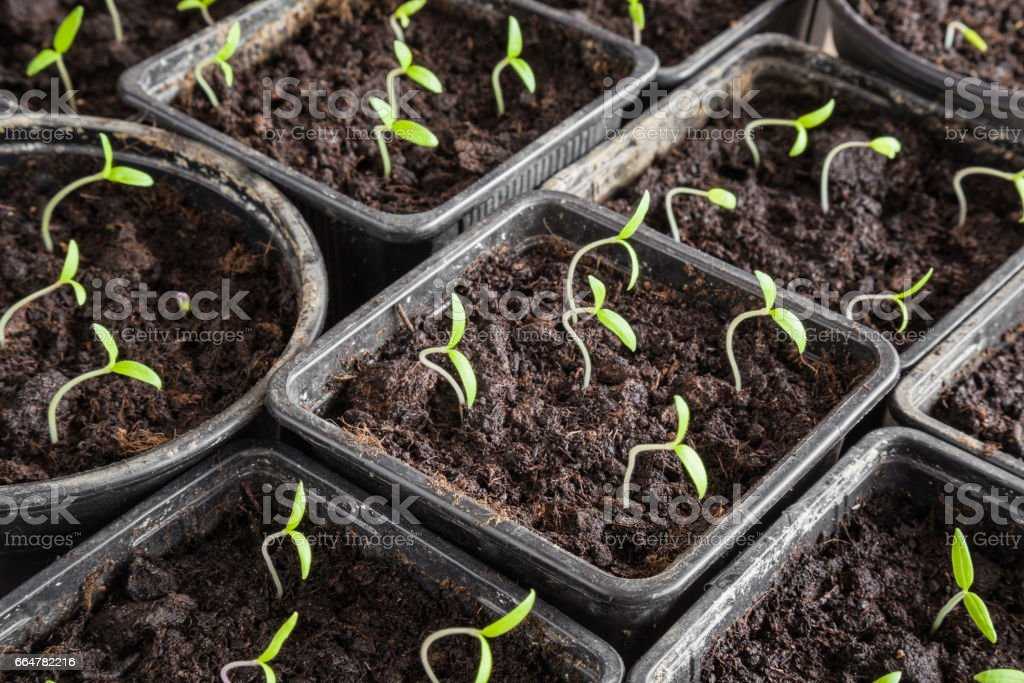 Tomato plants evolve in the ground.  Preparations for the garden. stock photo