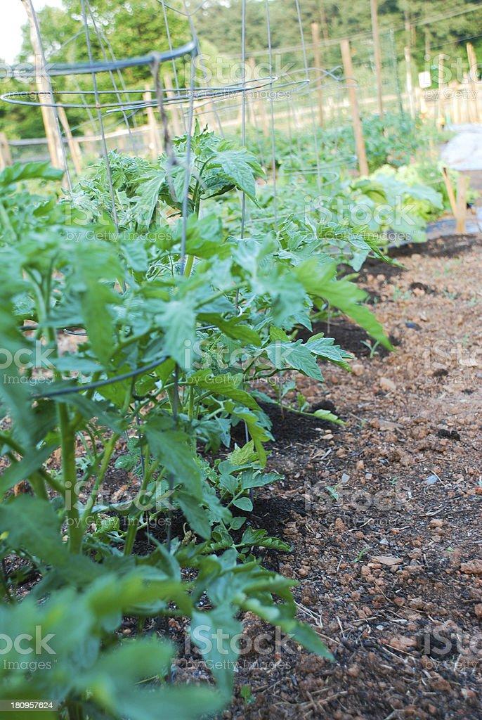 Tomato Plants royalty-free stock photo