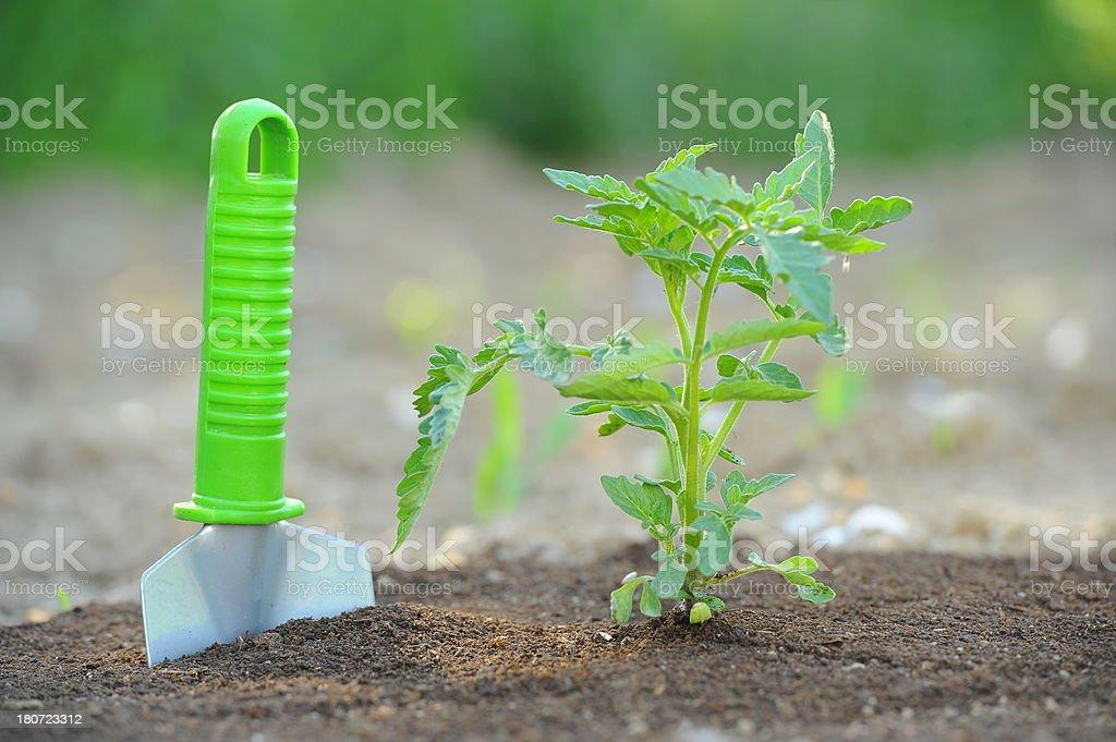 Tomato seddling in garden royalty-free stock photo