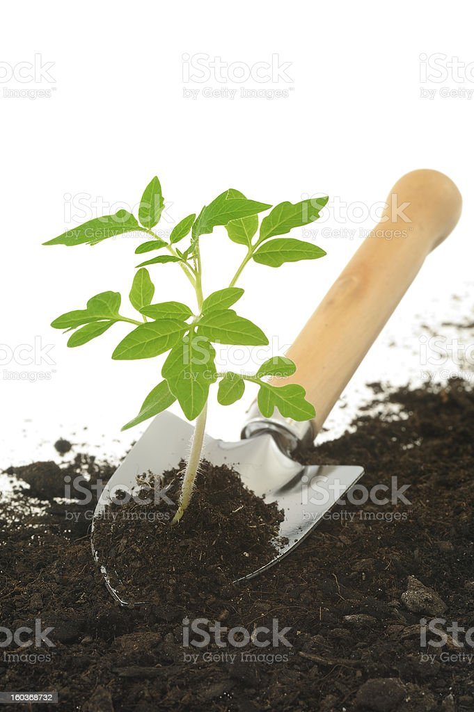 Tomato seedling and garden trowel, isolated on white royalty-free stock photo