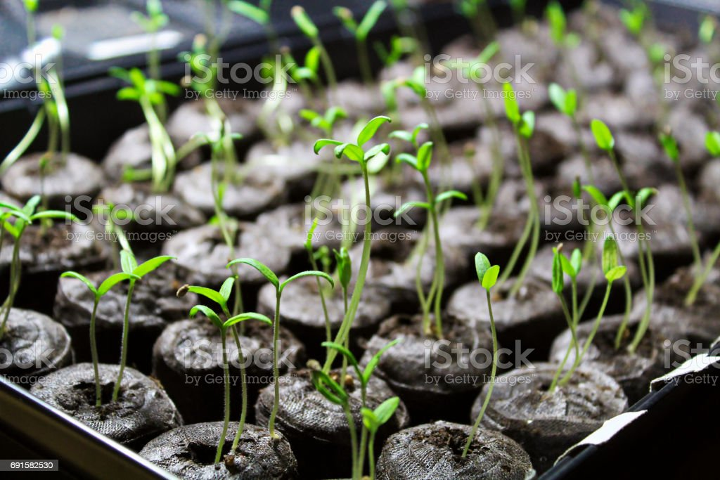 Tomato seedling being started in soil pellets stock photo