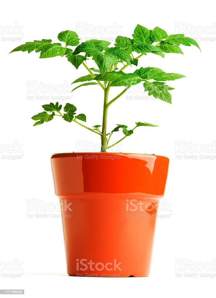 Tomato Seedling Green Plant, Leaves Growing in Red Garden Pot stock photo