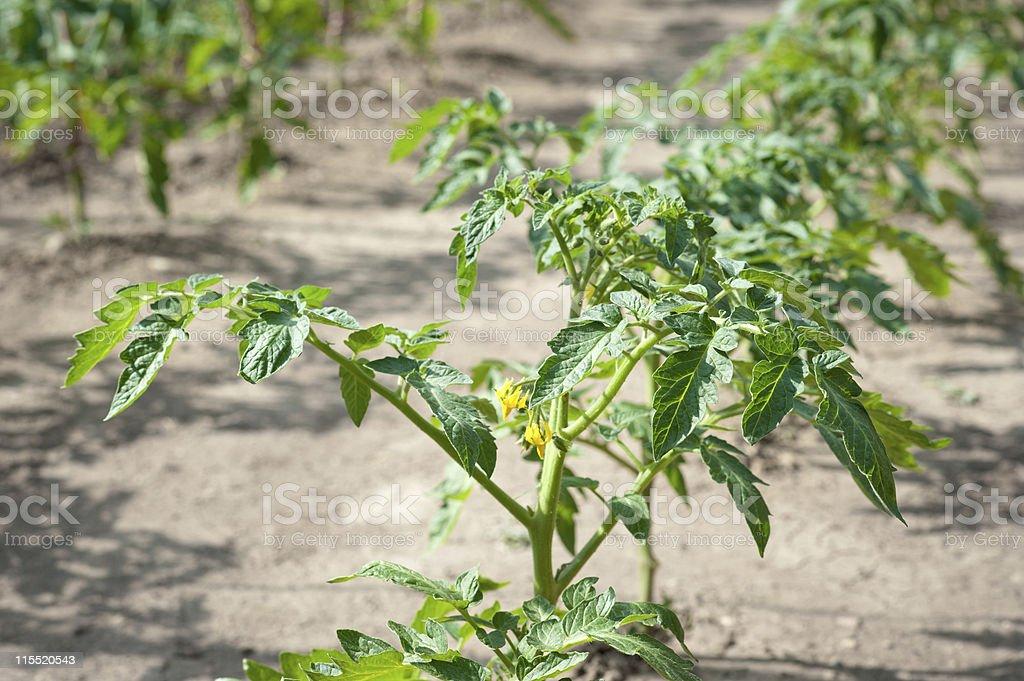 tomato seedling royalty-free stock photo