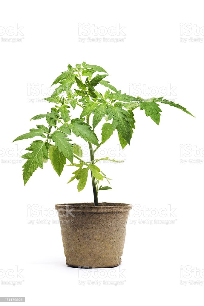 Tomato Seedling Potted Plant, Garden Vegetable Isolated on White Background stock photo