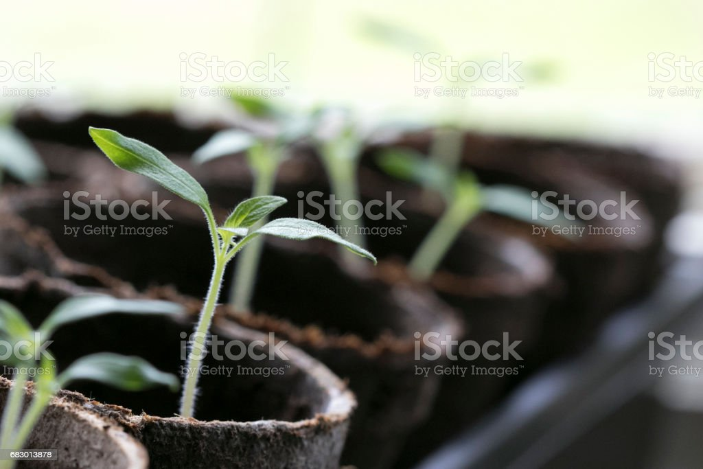 tomato Seedlings 4 stock photo