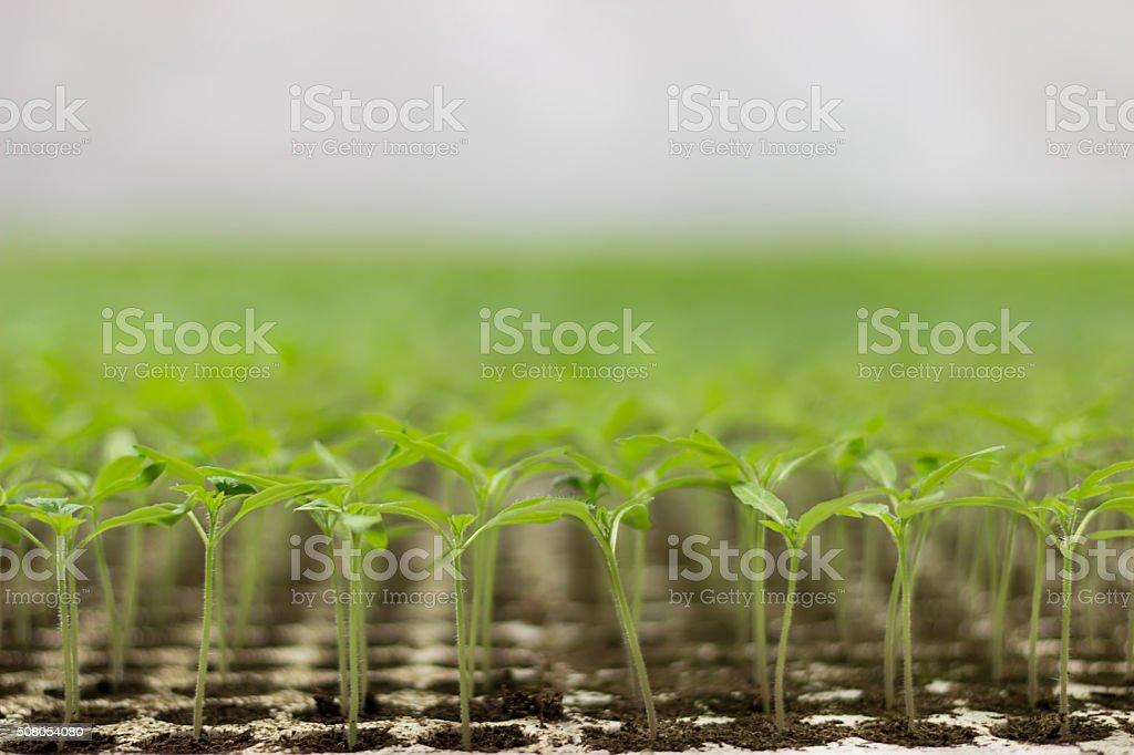 Tomato seedlings Organic gardening stock photo
