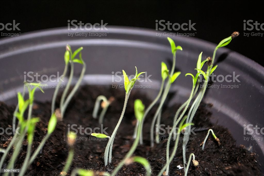 Tomato sprouts in the pot stock photo