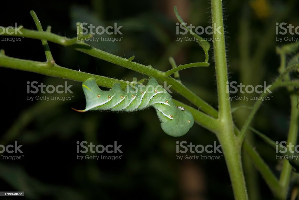 Tomato worm royalty-free stock photo