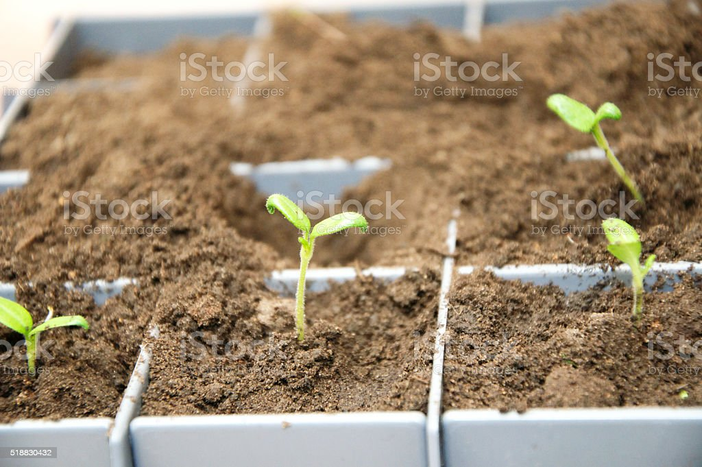 Tomato young sprout stock photo