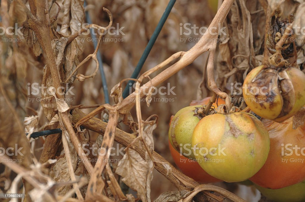 Tomatoes after the Frost royalty-free stock photo