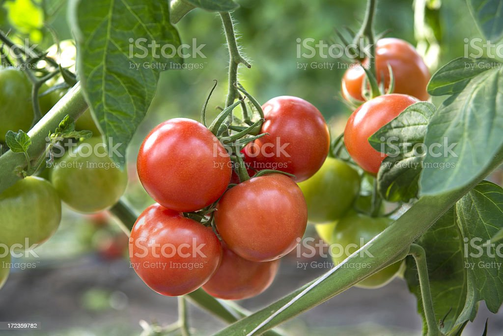 Tomatoes closeup stock photo