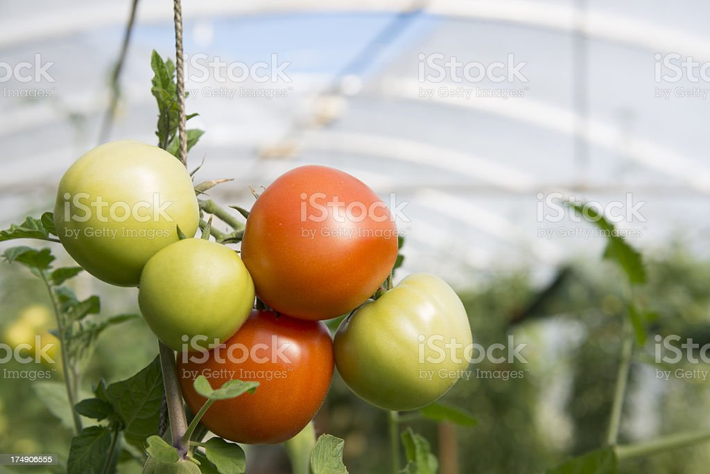 Tomatoes, Greenhouse royalty-free stock photo