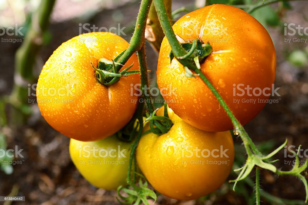 Tomatoes growing on the branches stock photo