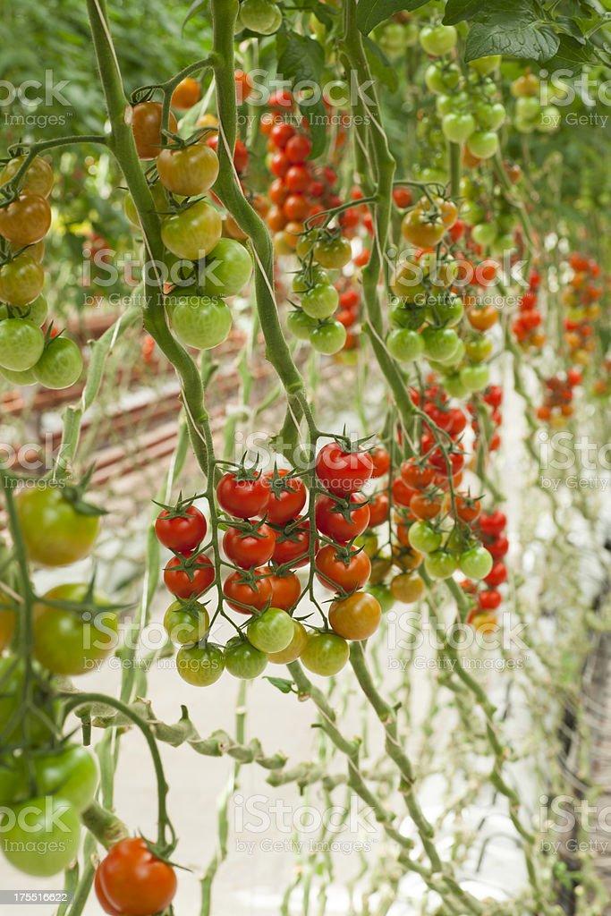 Tomatoes Growing stock photo